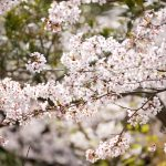 10 cherry blossom themed products that will make you feel in Japan during the sakura season